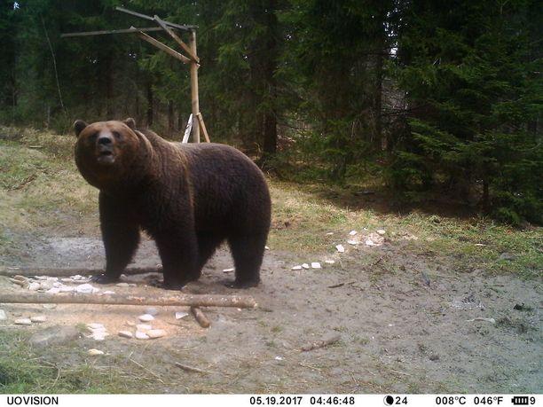 Karhujen vierailuista villisikojen ruokintapaikoilla on kertynyt paksu pinkka kuvia.