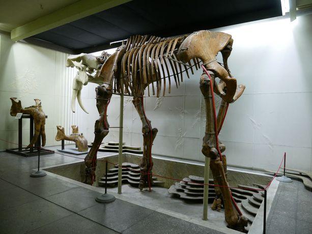 Mammutin luuranko etnografisessa museossa.