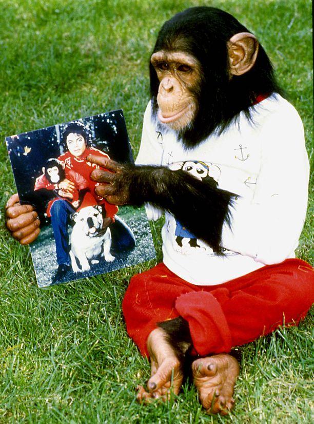 Michael Jacksonin lemmikkisimpanssi Bubbles asuu nykyään Floridassa apinoista huolehtivassa keskuksessa. KUVA: ZUMAPRESS/MVPHOTOS