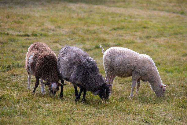 Lammaslauma auttaa pitämään puiston nurmialueet siistinä.