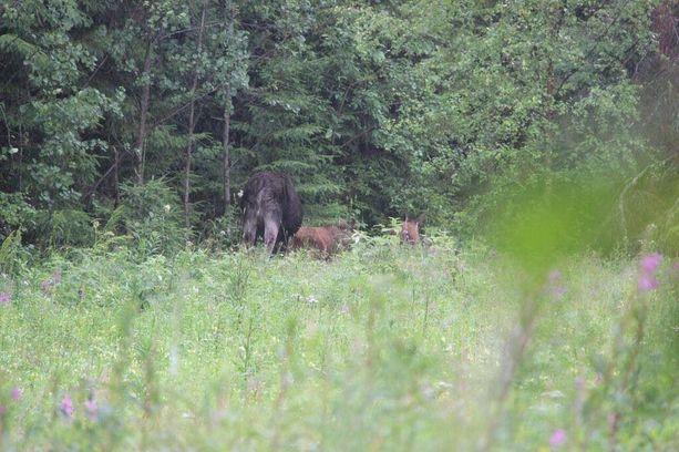 Vierailun jälkeen hirviperhe otti suunnan kohti läheistä metsää.