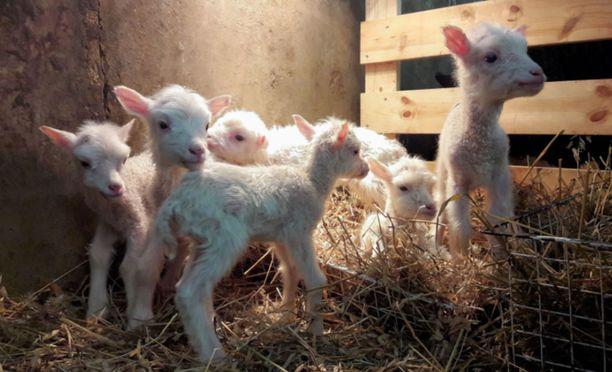 Kiviojan lammastilalle syntyi kuutoset, joista kaikki selvisivät hengissä.