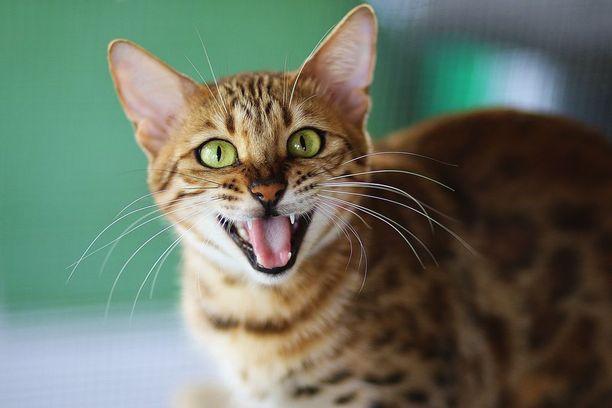 Maukuminen on kissan tapa kommunikoida ihmisen kanssa.