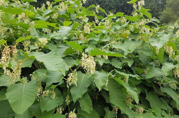 Japanintatar on luokiteltu yhdeksi maailman haitallisimmaksi vieraskasvilajiksi.