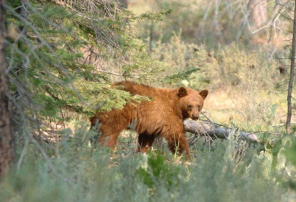 Karhujen kanssa ei kannata ottaa selfieitä, neuvotaan Tahoejärvellä.