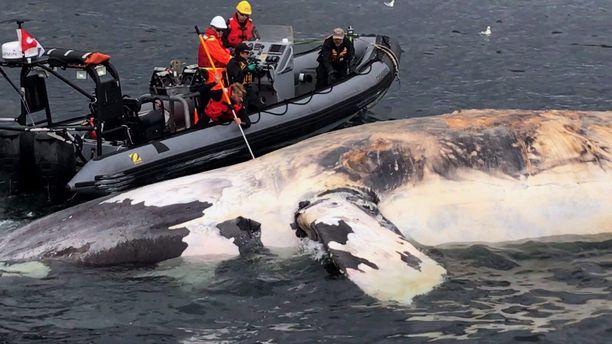 Tutkijat tarkastelivat kuollutta pohjanmustavalasta Kanadan rannikolla vuonna 2017.