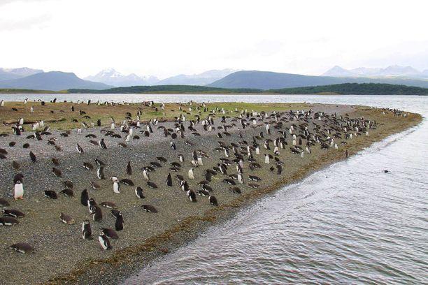 Martillo-saarta on kutsuttu myös Pingviinisaareksi. Kuva kertoo syyn.