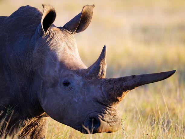 Uhanalaisen  isosarvikuonon  määrä  on  vähentynyt  16  prosenttia  vain  neljässä  vuodessa  vuosina2011–2015  pääosin  salametsästyksen  takia  Etelä-Afrikassa  Krugerin  kansallispuistossa.