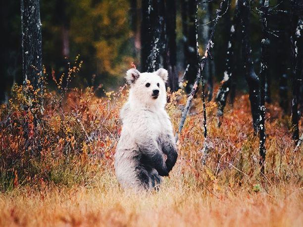 Lähes kokonaan valkoisella karhunpennulla on tummempaa ainoastaan mahanalusessa, käpälissä ja silmänympäryksissä.
