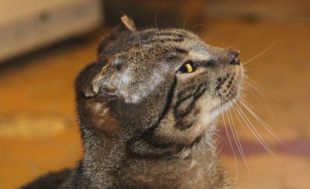Jäätymiskuolemalta pelastettu Kit-kissa menetti korvat ja häntänsä, mutta onneksi henki säilyi. Kuolioon menneet korvat eivät ole kuvassa vielä kokonaan pudonneet pois.