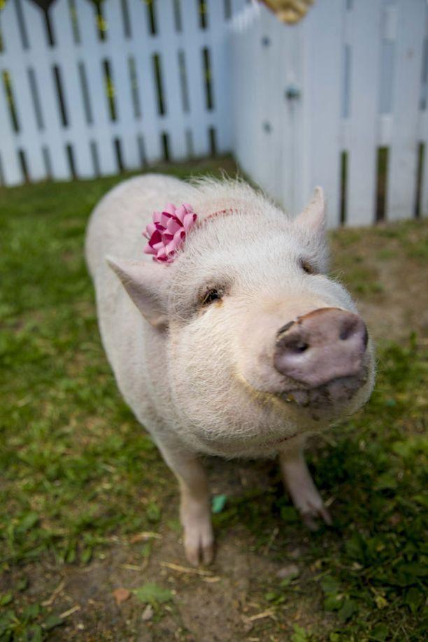Esteri on Suomen suosituin sika.