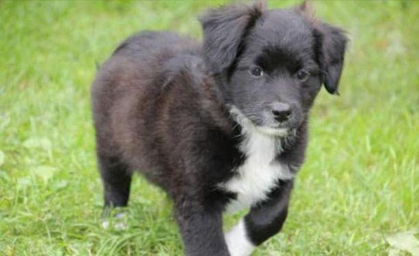 Koiranpentuja kaupattiin Tori.fi-sivustolla. Sama myyjä kauppaa koiranpentuja samoilla kuvilla nettimarkkinat-sivustolla.