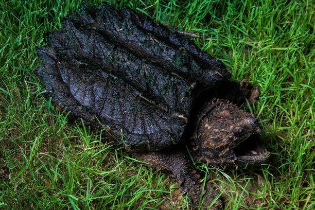 Alligaattorikilpikonna oli yksi miehen kotoa löytyneistä uhanalaisista matelijoista.
