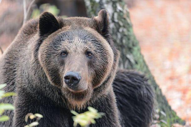 Karhut hulluttelevat nuuhkimalla kerosiinia. Kuvan karhu on kuitenkin ilmeisesti selvinpäin.