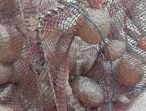 Tältä näytti Pertti Iivosen katiskassa, jonka hän nosti Lempäälän Kirkkojärveltä elokuun puolivälissä.