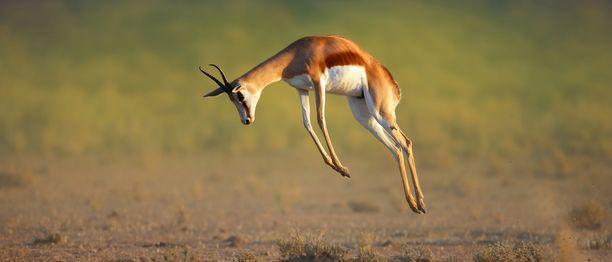 Hyppyantilooppi hyppää korkeuksiin Kalaharissa.