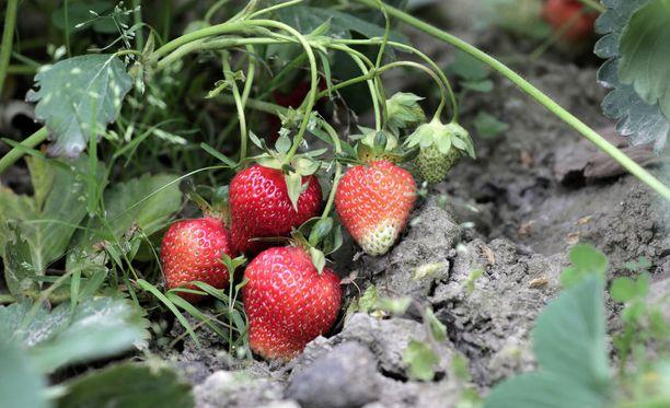 Ensimmäiset mansikat kypsyivät Lounais-Suomessa.
