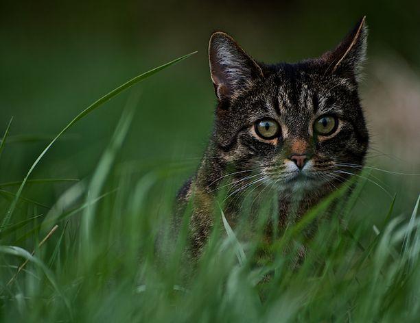 Tutkijat seurasivat kissojen liikkeitä neljän vuoden ajan.