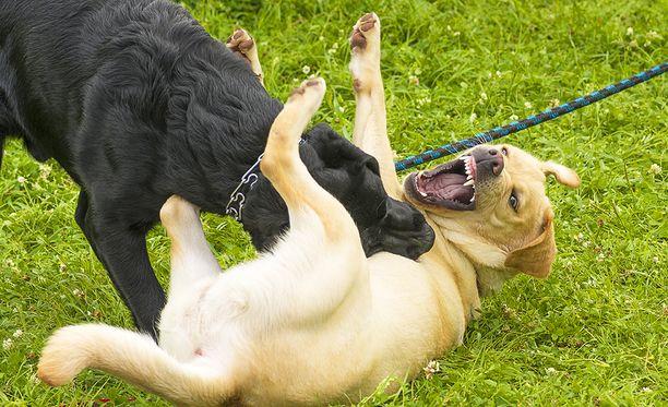 Jos koira on ihmiselle vaarallinen tai aiheuttaa suurta taloudellista vahinkoa, poliisi voi lopettaa koiran.