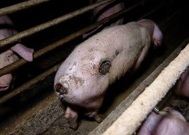 Oikeutta eläimille -yhdistyksen salaa kuvaamissa sikaloissa osa eläimistä oli liian pienissä ja ahtaissa tiloissa, osa loukkaantuneena.