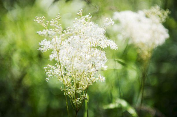 Mesiangervo voi aiheuttaa allergisen reaktion.