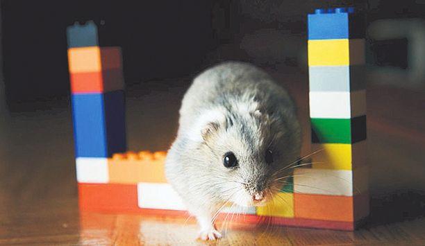 VIISAAMPI KUIN KOIRA. Torsti-hamsterin omistaja Peppi Raunioniemi pitää hamsteriaan Aamulehden mukaan villinä, rohkeana ja itsepäisenä - sekä koiria viisaampana.