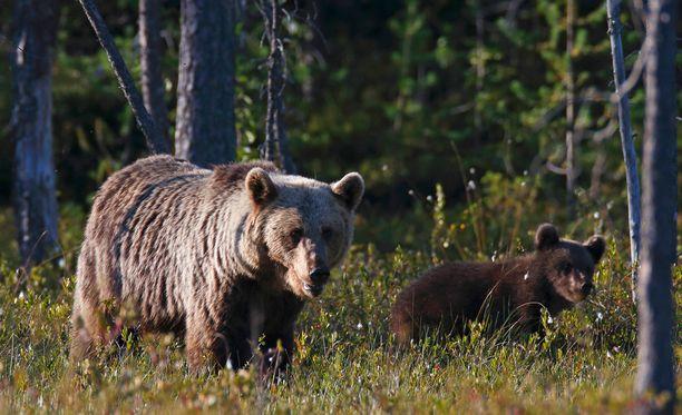 Karhunpentu ja naaras, jota pentu seuraa, ovat rauhoitettuja, eikä niitä saa metsästää karhunmetsästysaikaankaan. Kuvituskuva.