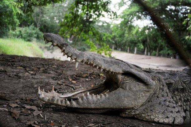 Krokotiileista aiotaan tehdä vanginvartijoita Indonesiassa.
