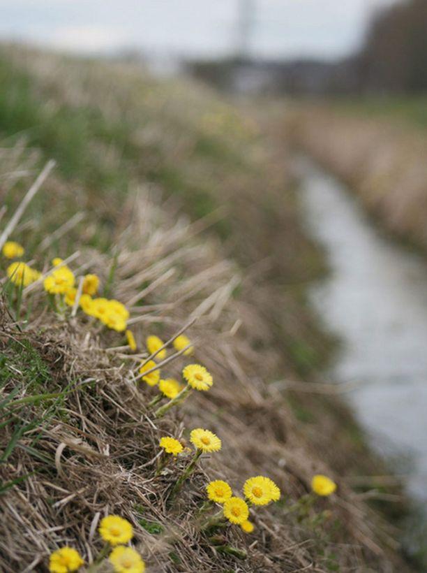Leskenlehdet kukkivat jo huhtikuussa.