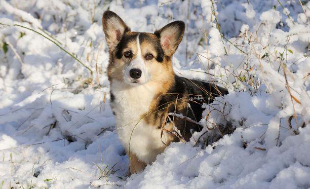 Kaltoin kohdeltu sekarotuinen koira muistuttaa gorgia (kuvituskuva).