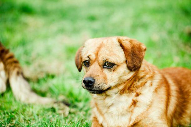 Koirapunkki aterioi nimensä mukaisesti mieluiten koirasta. Kuvituskuva.