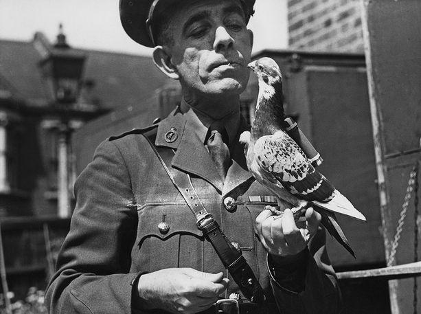 Britannian armeijan salaisen kyyhkyoperaation johtajiin kuulunut kapteeni Caiger ja sotakyyhky. Kuva on vuodelta 1945.