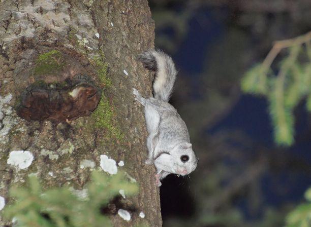 Liito-orava viihtyy Malmin kentän etelä- ja pohjoispuolen metsiköissä.