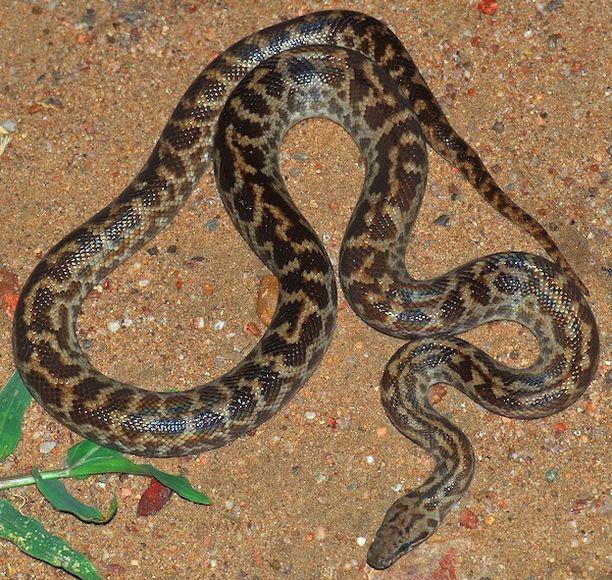 Käärmeen laji oli täpläpyton, joka ei ole myrkyllinen. Kuvituskuva.