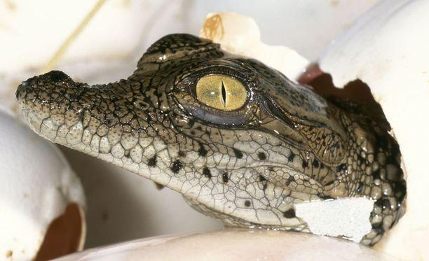 Jäätelöä ei ole saatavilla rajattomasti, koska krokotiili on uhanalainen laji eikä munia ole käytössä aina.