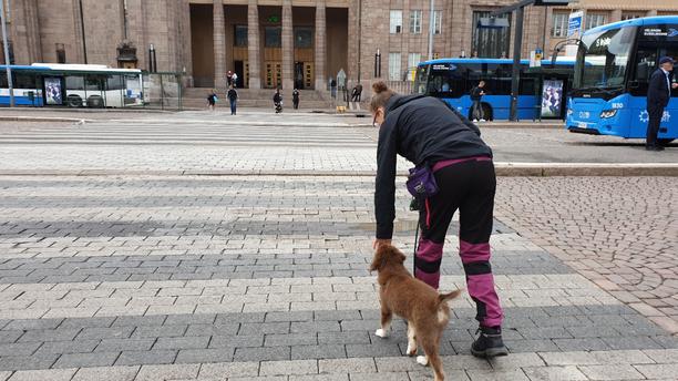 Suojatiet ja kaupungin vilinä ovat niitä paikkoja, joissa koiran on hyvä osata kulkea aivan vierellä. Tässä Miira Hellsten ja Mahla, 3 kk, harjoittelevat kulkemista Helsingin Rautatieaseman liepeillä. Tätä ennen samaa on treenattu helpommissa olosuhteissa kotona, pihalla ja puistoissa.