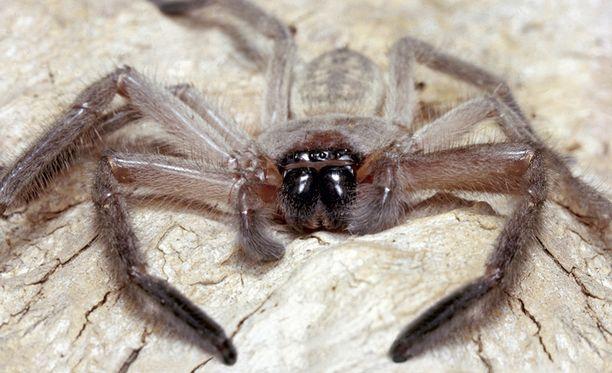Jahtihämähäkki voi joskus purra ihmistä, mutta yhtään kuolemaa se ei tutkitulla jaksolla aiheuttanut.