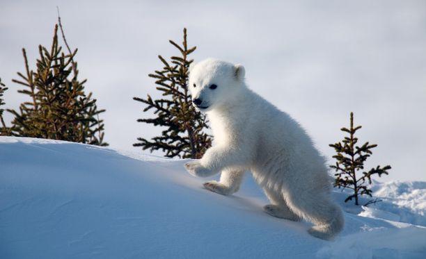 Ohjelmassa nähdään jääkarhunpentuja telmimässä sekä opettelemassa uimaan.