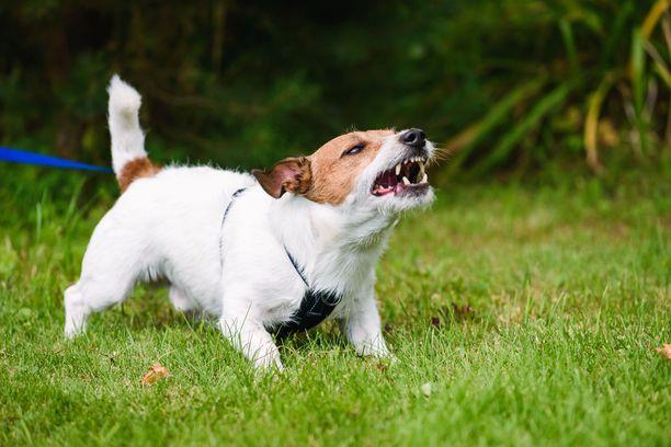 Koiran aggressiivisuus johtuu usein pelosta.