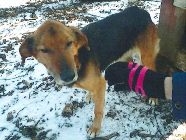 Kymmenvuotias koira oli elänyt koko elämänsä piha-aitauksessa. Lenkille se oli päässyt kerran kahdessa viikossa.