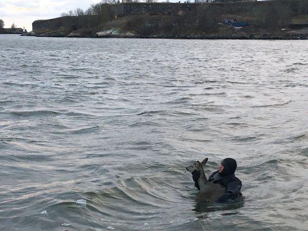 Metsäkauris oli väsynyt pitkästä uintimatkastaan kylmässä vedessä. Helsingin pelastuslaitoksen pintapelastaja ui eläimen luo ja otti sen syliinsä. Uupunut metsäkauris pääsi hoitoon Korkeasaareen.