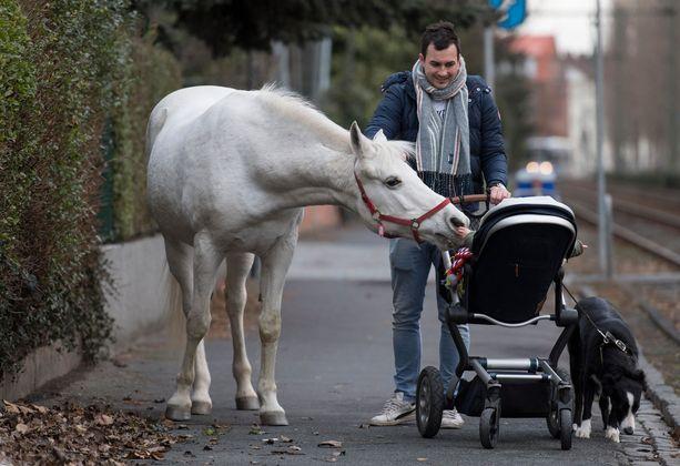Jenny on kumartunut haistelemaan Raphael Wällsteinin lasta, joka pääse silittämään arabianhevosen turpaa. Kaduilla yksin kävelevä hevonen on Frankfurtissa kuin julkkis.