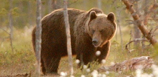 Karhu liikuskelee asutuksen lähellä Vantaan Seutulassa. Kuvan karhu ei liity tapaukseen.