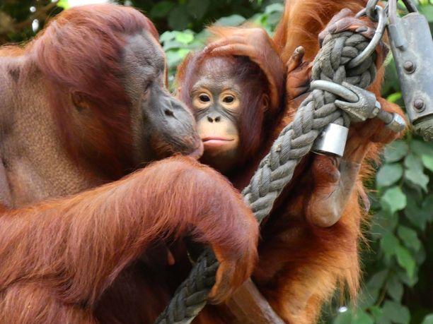 Krefeldin eläintarhan orangit kuolivat uudenvuodenyön tulipalossa.