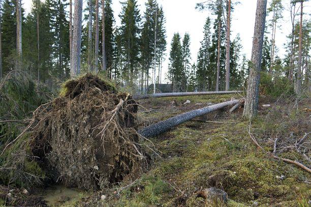 Tuuli voi kaataa puita Itä-Suomessa maanantain vastaisena yönä. Kuvituskuva.
