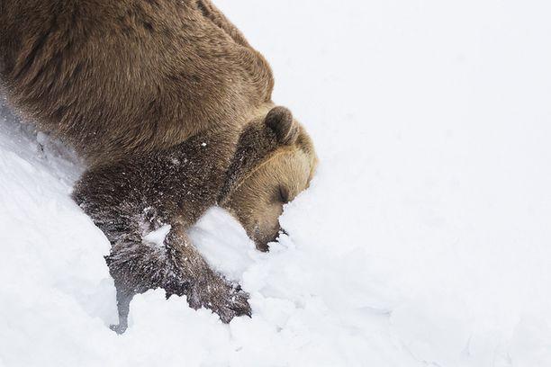Karhut silmin nähden nauttivat lumessa telmimisestä.