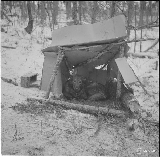 Ruli, sotakoira asunnossaan Pesioivan kenttävartiossa 12.1.1941.