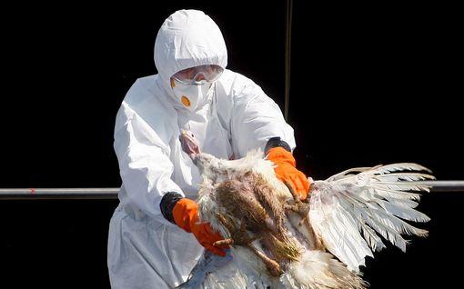 Tšekistä löytynyt lintuinfluenssaa – virus levisi luonnonvaraisten lintujen mukana