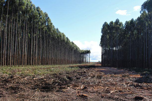Puut kasvavat Uruguayn ilmastossa 10 vuodessa 30 metrin korkuisiksi.