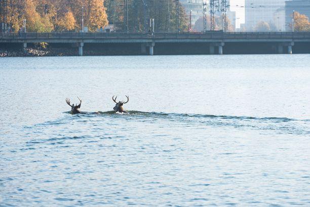 Peurat pulikoivat Töölönlahdella syysauringossa.